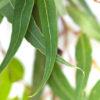 eucalyptus spearmint fragrance