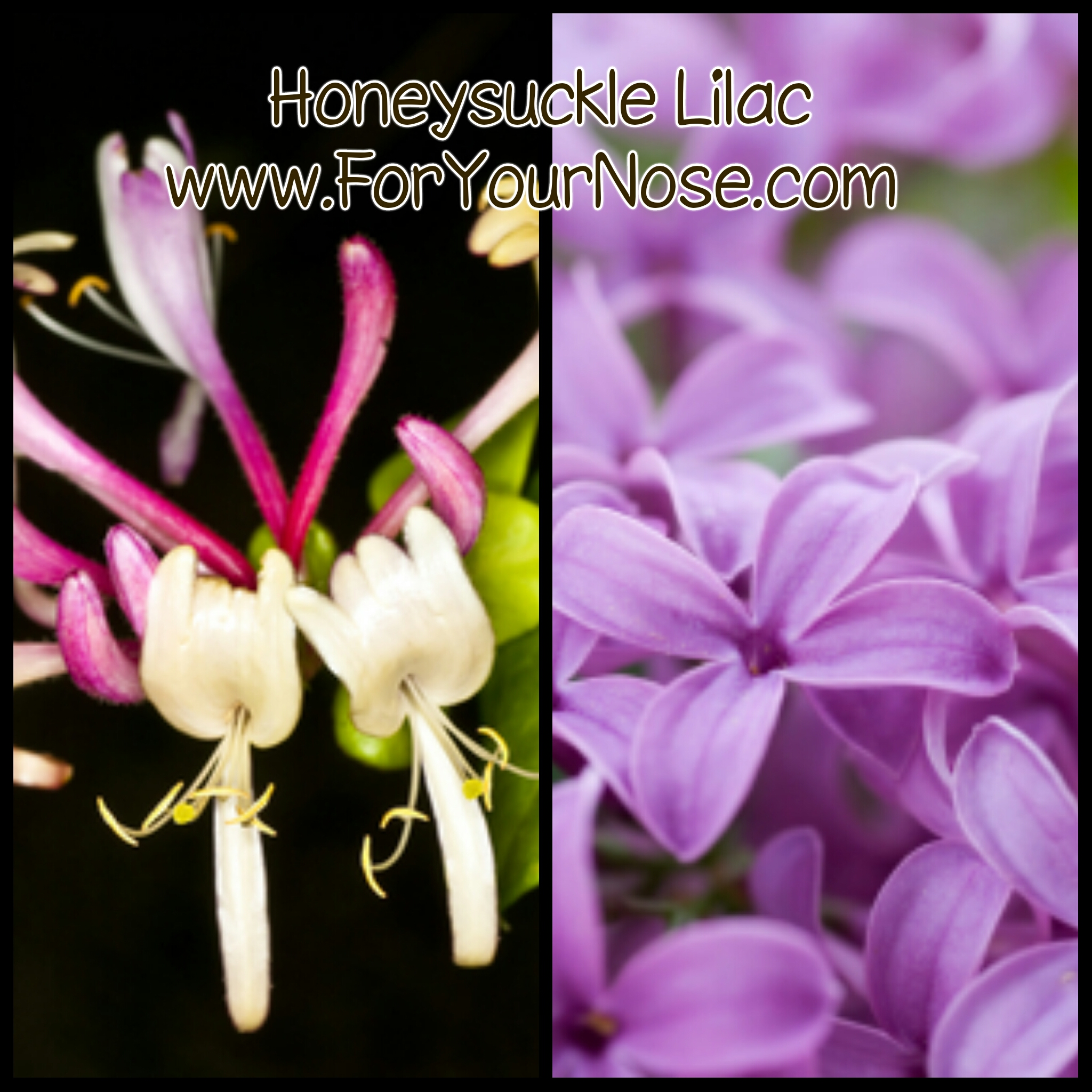 Honeysuckle Lilac fragrance